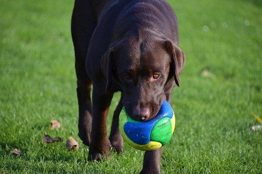 pelota perro