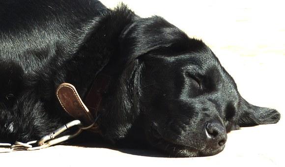 alergia en perros