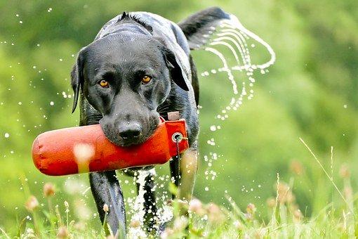 labrador chocolate negro labradores perro perros